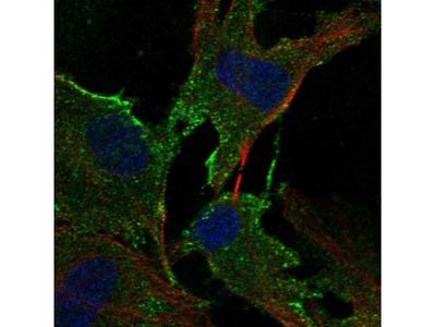 ADAMTS2 Antibody