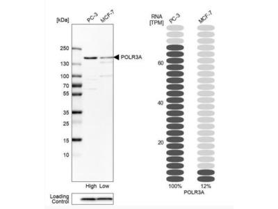 POLR3A Antibody