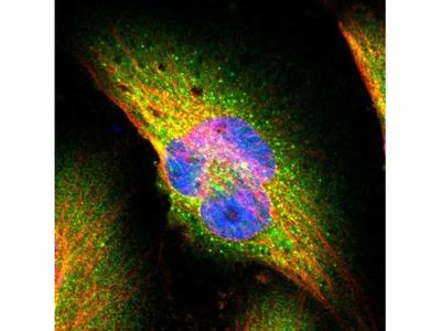SEC31A Antibody