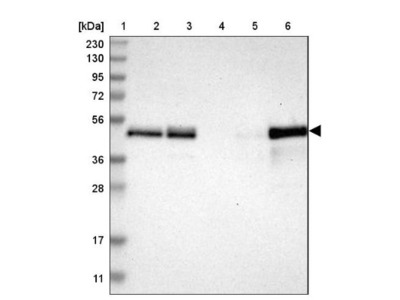 TSC22D4 Antibody