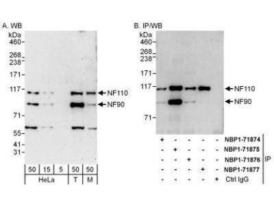 Rabbit Polyclonal ILF3 Antibody