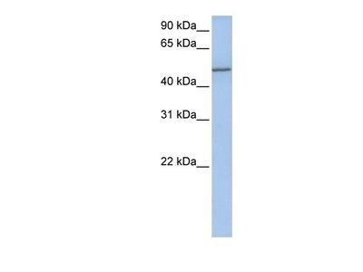 Collagen XXV alpha 1 Antibody