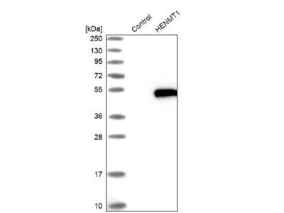 HENMT1 Antibody