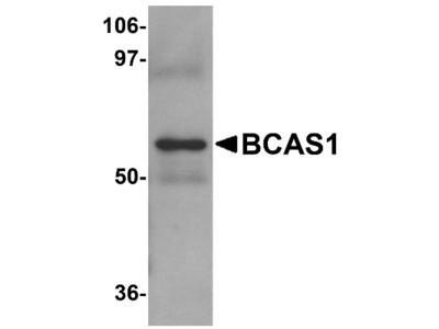 BCAS1 Antibody