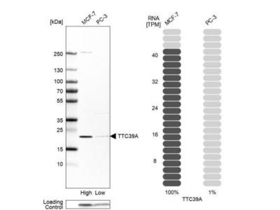 TTC39A Antibody