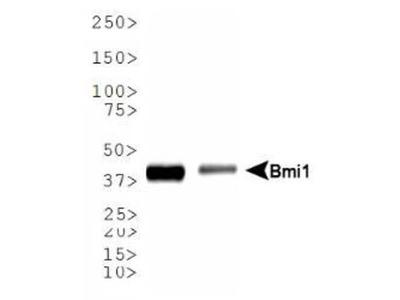 BMI-1 Antibody (LLBmi1-1)