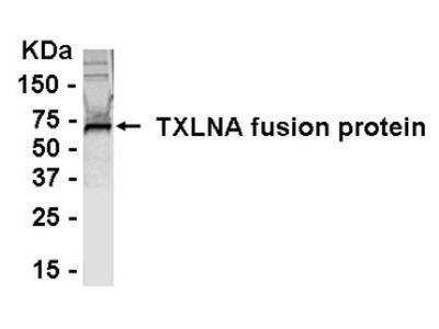 alpha-Taxilin Antibody