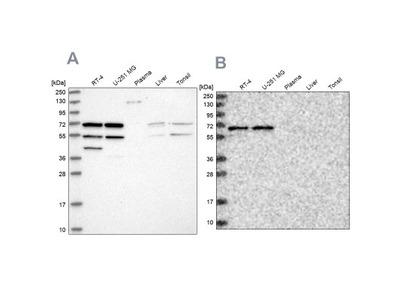 SIAE Antibody
