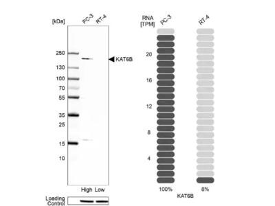 KAT6B-MORF Antibody