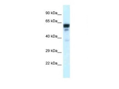 TUBA6 Antibody