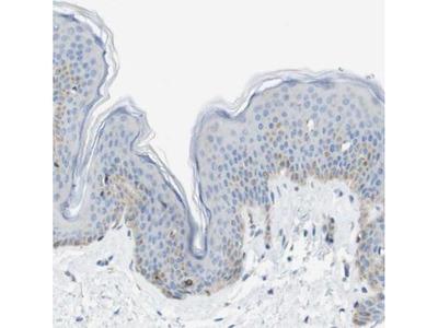 HSPC105 Antibody