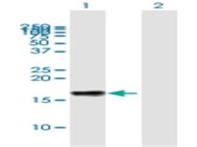 LST1 Antibody