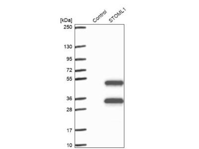 Stomatin-like protein 1 Antibody