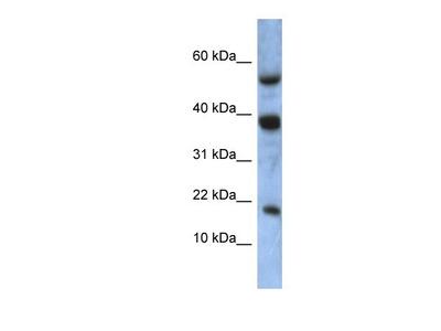 ATXN7L1 Antibody