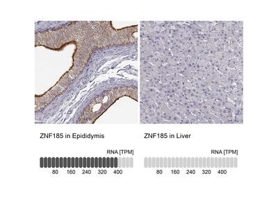 Anti-ZNF185 Antibody