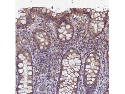 Lysine-rich coiled-coil 1 Antibody