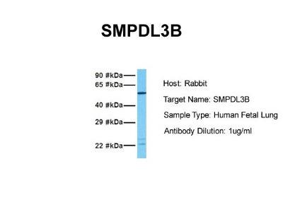 SMPDL3B Antibody