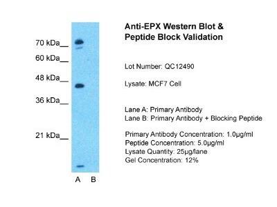 EPX Antibody