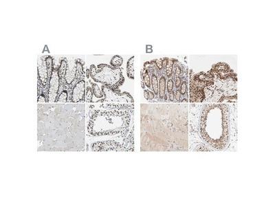 p66 alpha Antibody