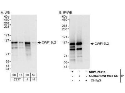 CWF19L2 Antibody
