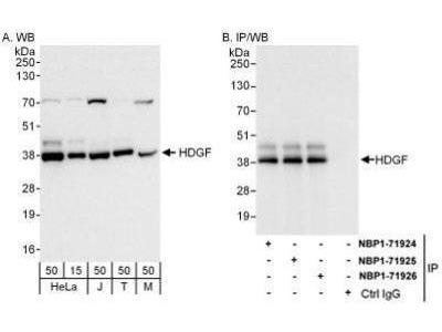 HDGF Antibody