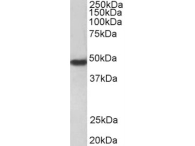 Goat Polyclonal PAR1 / Thrombin Receptor Antibody