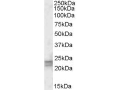 ARF4L Antibody