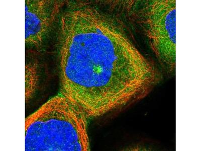 PXK Antibody