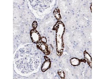 SLC17A2 Antibody