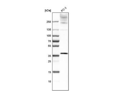 LASS2 Antibody
