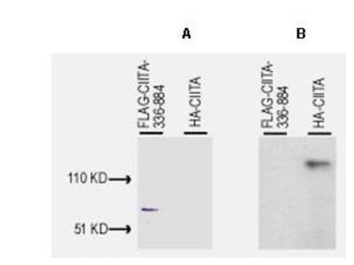 Rabbit Polyclonal CIITA Antibody
