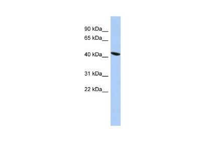 Rabbit Polyclonal EZFIT / ZNF71 Antibody