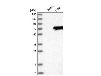 LGI2 Antibody