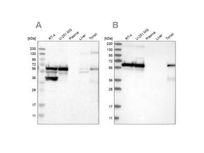 CROP Antibody
