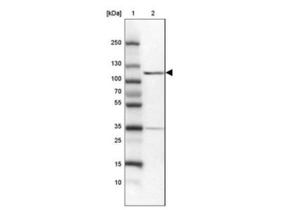 MYO1G Antibody