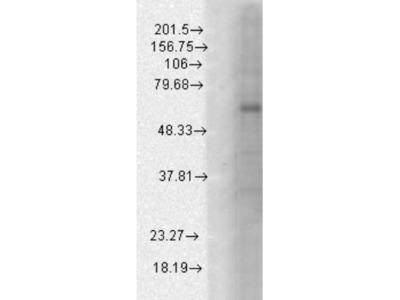 Mouse Monoclonal GABA-A R beta 1 Antibody