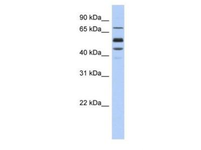 Protein S/PROS1 Antibody
