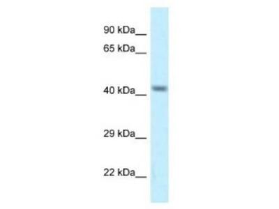 CACNG8 Antibody