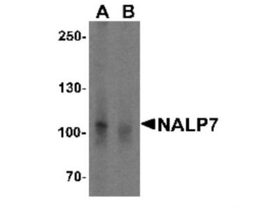NLRP7 Antibody