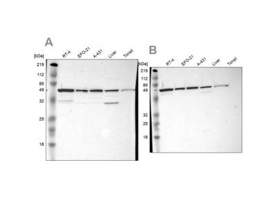 CKAP4 /p63 Antibody