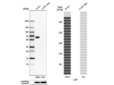 Lipolysis Stimulated Lipoprotein Receptor Antibody