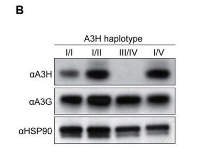 ARP10 Antibody