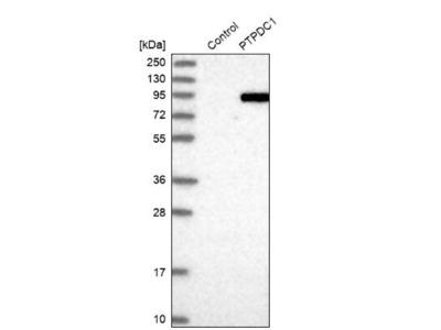 PTPDC1 Antibody