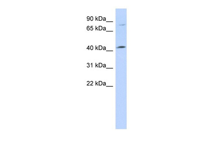 Lymphocyte Expansion Molecule Antibody