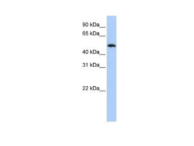 ABRO Antibody