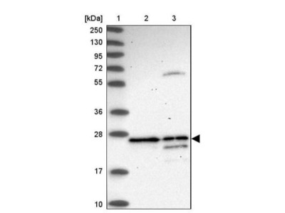 DAO Antibody