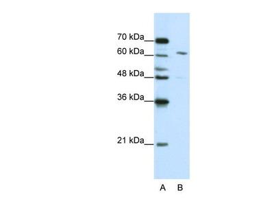 Rabbit Polyclonal CPSF6 Antibody