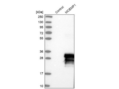 MCEMP1 Antibody