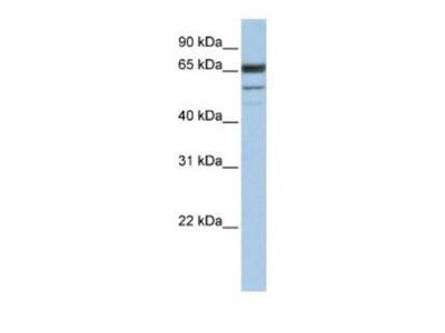 Rabbit Polyclonal SEPN1 Antibody