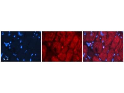 Rabbit Polyclonal SIX1 Antibody